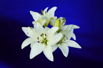 White lilies on blue background