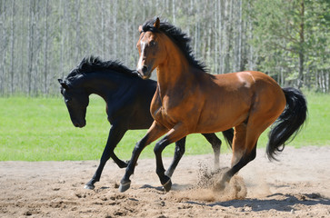 Fototapete - Two stallions gallop on manege