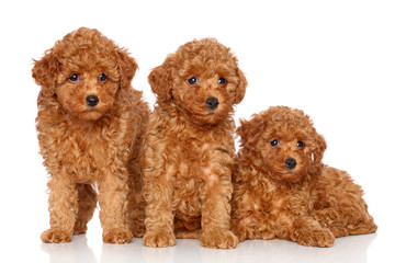 Wall Mural - Group of toy poodle puppies