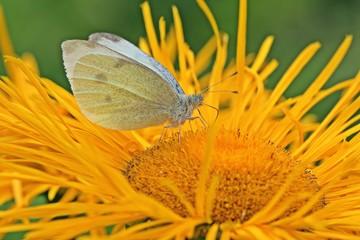 Kohlweißling auf gelber Blüte