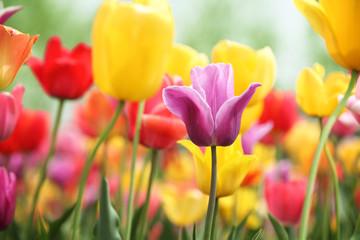 tulips - fototapety na wymiar