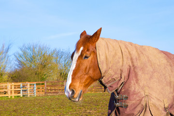 Horse in field wearing horse rug