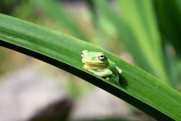 くつろぐ蛙