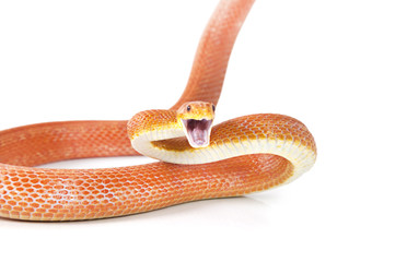 Red Texas rat snake attacking