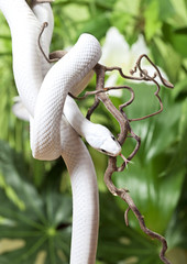 Texas rat snake rested on branch