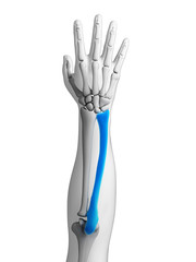 3d rendered illustration - ulna