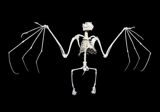 Fruit Bat Skeleton