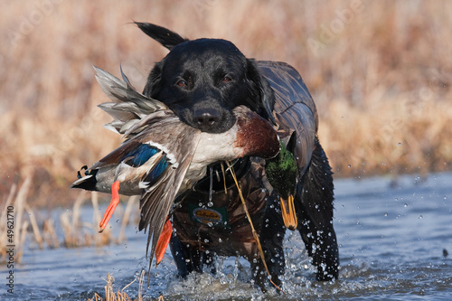 Wall mural Black Lab with Mallard