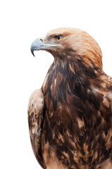 Trotse Kaukasische adelaar