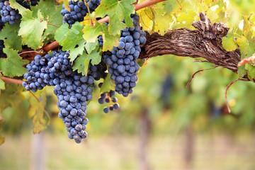 Red wine grapes on old vine Fototapete