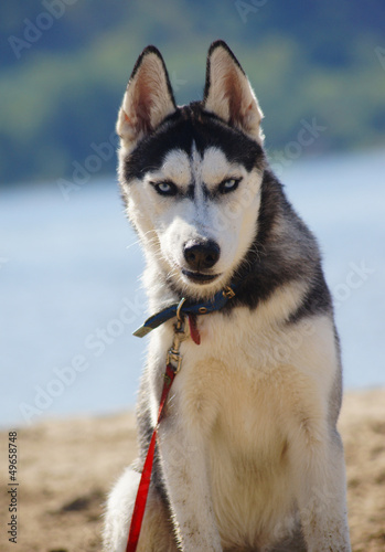"""""""Angry Siberian Husky"""" Stock photo and royalty-free images ..."""
