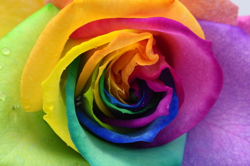 Self adhesive Wall Murals Macro Close up of rainbow rose heart