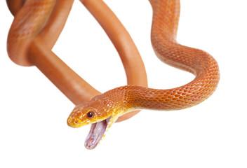 Texas rat snake over white