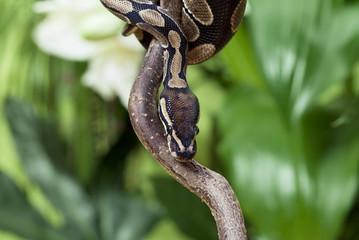 Royal Python rested on branch