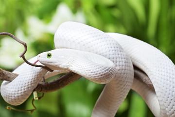 Texas rat snake creeping on branch