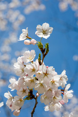 Spring cherry blossom against blue sky, close-up