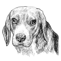 The drawing portrait of Beagle.