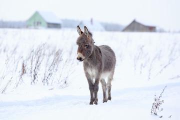 Tuinposter Ezel Grey donkey in winter field