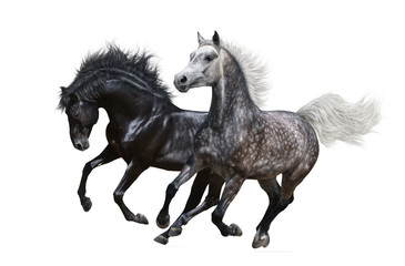 Wall Mural - Two horses gallop on white background
