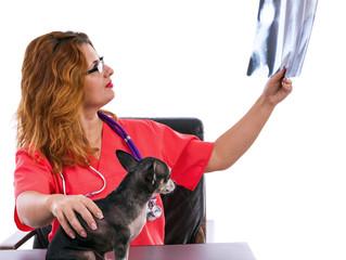 Veterinarian doctor examining a Chihuahua's radiography