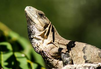Iguana from Yucatan