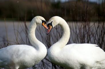 Papiers peints Cygne Swans in Love