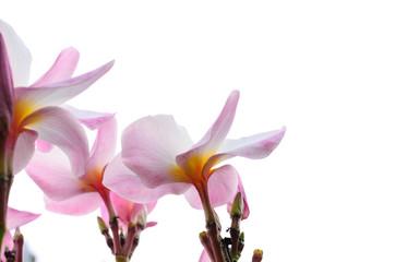 Tuinposter Frangipani Pink plumeria flowers on white background