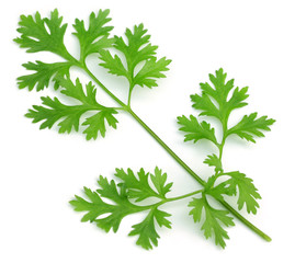 Fresh coriander leaves over white background
