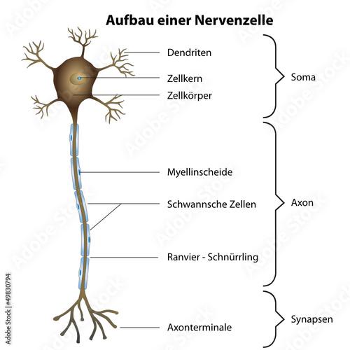 Aufbau einer Nervenzelle\