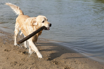 beautiful golden retriever which holds stick on the beach