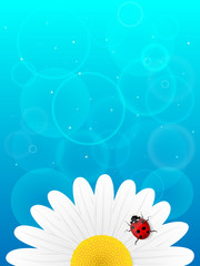 Chamomile flower and ladybird on blue background.
