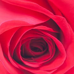 macro background of red roses