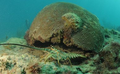 Fototapete - Caribbean spiny lobster and brain coral