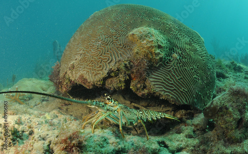 Wall mural Caribbean spiny lobster and brain coral