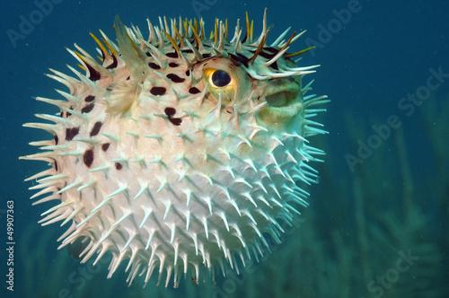 Wall mural Blowfish or diodon holocanthus underwater in ocean