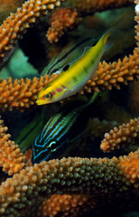 Fototapete - tropical fish with staghorn coral