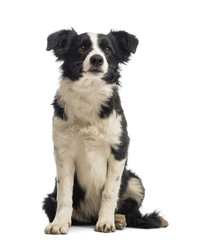 Border Collie sitting and looking away