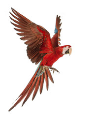 Foto op Canvas Papegaai Green-winged Macaw, Ara chloropterus, 1 year old, flying