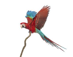 Photo sur Plexiglas Perroquets Green-winged Macaw, Ara chloropterus, 1 year old