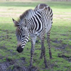 the plains zebra  close up