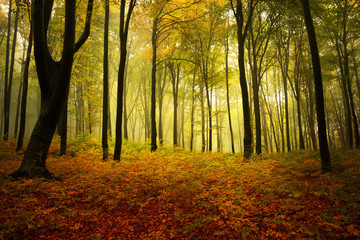 Foggy autumn day intot he forest