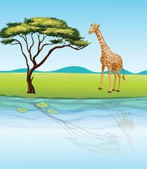 A giraffe beside the river
