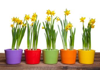 Frühlingsblumen in bunten Töpfen auf Holz Freisteller I
