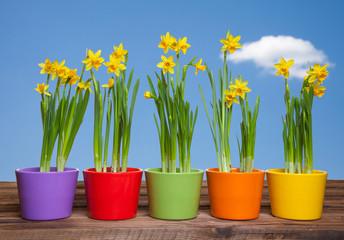 Frühlingsblumen in bunten Töpfen mit blauem Himmel