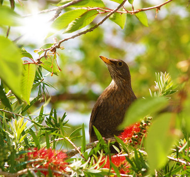 Amsel auf einem Baum