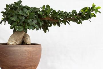 Bonsai / Ginseng / Baum