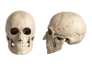 3d rendered illustration of the human skull