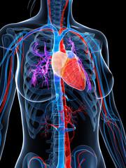 3d rendered illustration of the female vascular system