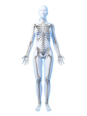 3d rendered illustration of the female skeleton