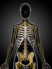 3d rendered illustration of the female nervous system